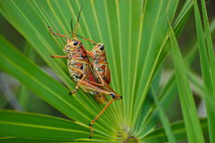 Grasshopper Love 1 Royalty Free Stock Images