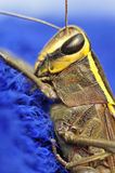 Grasshopper macro Royalty Free Stock Photo
