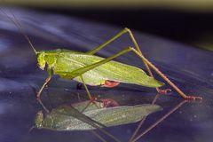 Grasshopper Macro Royalty Free Stock Photography