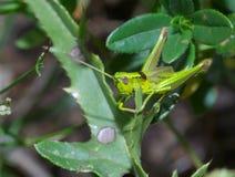 Grasshopper macro Royalty Free Stock Image
