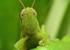 Grasshopper Macro close-up head shot Stock Photo