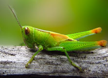 Grasshopper macro closeup royalty free stock photography