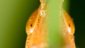 grasshopper Macro eccellente fotografia stock libera da diritti