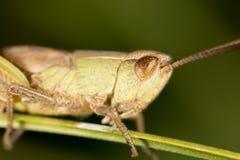 grasshopper Macro eccellente immagini stock
