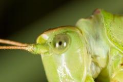 grasshopper Macro eccellente immagine stock libera da diritti