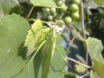 Grasshopper Macro. Green grasshopper in a native habitat. Wrecker of agriculture Stock Photos