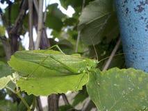 Grasshopper Macro. Green grasshopper in a native habitat. Wrecker of agriculture Stock Photo