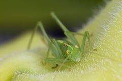 Grasshopper macro Stock Images