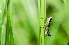 Grasshopper macro in green nature Stock Photography
