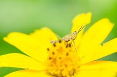 Grasshopper macro in green nature Royalty Free Stock Photos