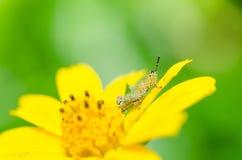 Grasshopper macro in green nature Stock Image