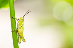 Grasshopper macro in green nature Royalty Free Stock Photography