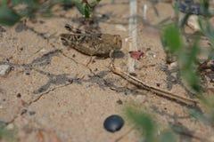Grasshopper Macro Stock Image