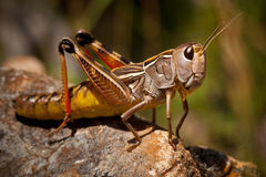 Grasshopper Macro Stock Photo