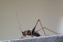 Grasshopper macro portrait royalty free stock photos