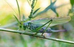 Grasshopper macro shot. Grasshopper natural park macro shot Stock Image