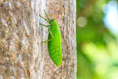 Grasshopper macro on tree Royalty Free Stock Photography