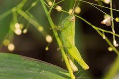 Grasshopper. Macro verdant  forest  grasshopper green Royalty Free Stock Images