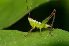 Grasshopper. Macro verdant forest grasshopper natural insect Stock Photos