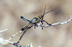 A grasshopper from Madagascar. Stock Photos