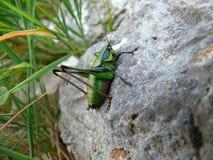 Grasshopper. Majestic grasshopper resting his legs on stone Stock Photo