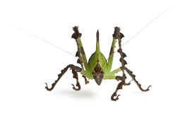 Grasshopper, Malaysian Leaf Katydid Stock Photo