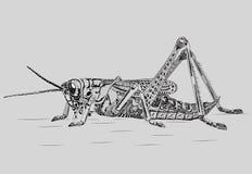 Grasshopper. Male grasshopper sitting on the ground Stock Photography