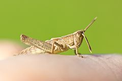Grasshopper on man finger closeup Royalty Free Stock Image