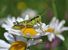 Grasshopper on margaret Royalty Free Stock Images