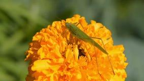 Grasshopper marigold στο λουλούδι φιλμ μικρού μήκους
