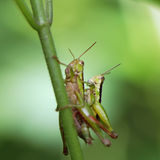 Grasshopper matching on the leaf Stock Photography