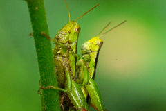 Grasshopper matching Royalty Free Stock Photos