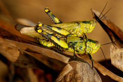 Grasshopper mating Royalty Free Stock Image