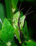 Grasshopper mating Stock Photos