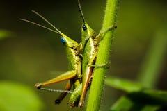 Grasshopper mating Stock Image