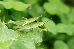 Grasshopper mating Royalty Free Stock Photos
