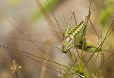 Grasshopper on a Meadow Stock Photo