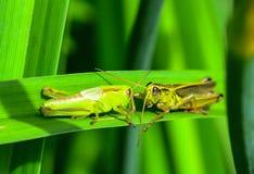 Grasshopper mentoring Royalty Free Stock Image