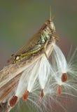 Grasshopper on milkweed Stock Image