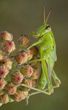 Grasshopper on milkweed buds Royalty Free Stock Photography