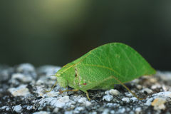 Grasshopper mimics  tree leaf Stock Image