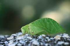 Grasshopper mimics  tree leaf Royalty Free Stock Images