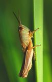 Grasshopper - the model Stock Photography