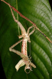 Grasshopper molt to adults. Stock Photo