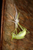 Grasshopper molt to adults. Stock Images