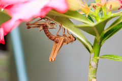 Grasshopper molting Stock Images