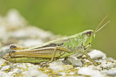 Grasshopper on natural background Stock Image