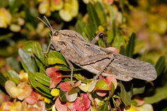 Grasshopper in natural habitat Royalty Free Stock Photography