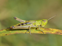 Grasshopper in nature Stock Photography