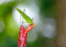 Grasshopper in nature Stock Images